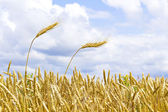 Ears of wheat against the sky — Stock Photo