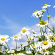 Stock Photo: White daisies in sky