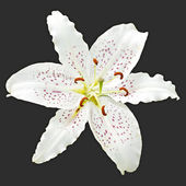 Flower white lily of the royal on a black background — Stock fotografie
