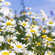 White daisies in the sky — Stock fotografie