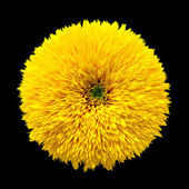 Decorative flower sunflower on black background — Stock Photo