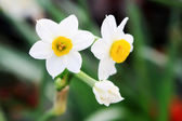 Daffodils flowers — Stock Photo