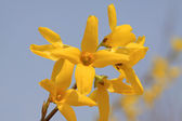Forsythia flower — Stock Photo