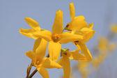 Fiore di forsizia — Foto Stock