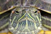 Brazilian tortoise — Stock Photo