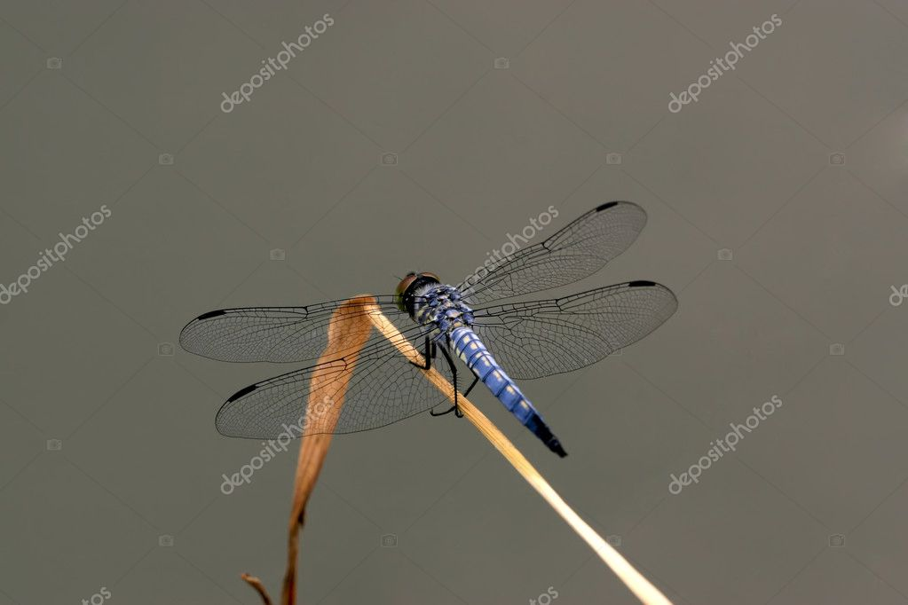 A dragonfly resting in the branches, china. — Stock Photo #6069286