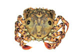 Closeup of Crab on white background — Stock Photo