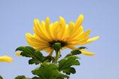 Chrysantheme — Stockfoto