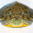 Red-eared turtle - Stock Photo