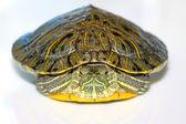 Tartaruga-de-orelha-vermelha — Foto Stock
