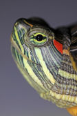 Red-eared turtle — 图库照片