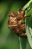 Cicada shell — Stock Photo