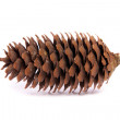 Pine cone on white background. — Stock Photo