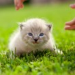 White kitten on a green lawn — Stock Photo