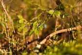 日光のブルーベリーの芽. — ストック写真