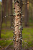 Broken pine in a pine forest. — Stock Photo