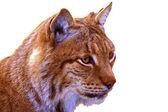 Lynx isolated — Stock Photo