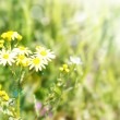 Chamomile with sunlights — Stock Photo #5510488