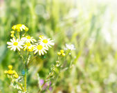 Chamomile with sunlights — Stock Photo