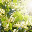 Blossom linden - Stock Photo