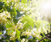 Blossom linden — Stock Photo