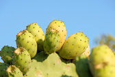 Figues indiens sauvages — Photo