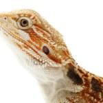 Lizard Bearded Dragon — Stock Photo