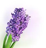 Jacinto púrpura — Foto Stock