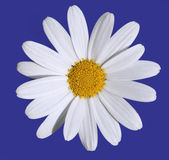 Daisy with clipping path — Stock Photo