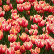 Tulips on flowerbed — Stock Photo #5524076