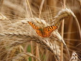 Golden crop with butterfly — Stock Photo