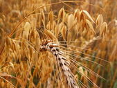 Golden crop — Stock Photo