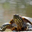 Florida turtle - Stock Photo