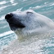 Polar bear — Stock Photo #5462083