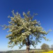 A flowering Tree - Stock Photo
