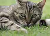Tabby cat — Stockfoto