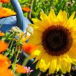 Sunflower and flowers — Stock Photo