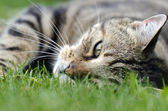 Gato tigrado — Foto Stock