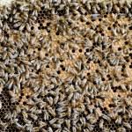 apiculture — Stok fotoğraf