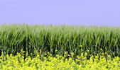 Rapeseed and wheat field — Stock Photo