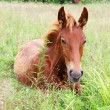 Red colt - Stock Photo