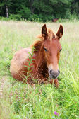 Red colt — Stock Photo