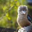 Kookaburra Dacelo novaeguineae Kingfisher with a funny look — Stock Photo