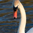 Stock Photo: Beautiful swan