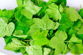 Fragrant leaves of currant — Stock Photo