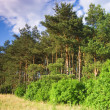 Stock Photo: Landscape with pine forests
