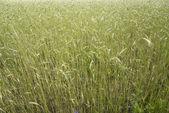 Wheat field after rain — Stock Photo