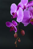 Purple orchid isolated on black — Stock Photo
