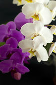 Purple with white orchid isolated on black background — Stock Photo