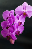 Beautiful purple orchid flower isolated on black — Stock Photo
